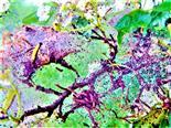 Gespinst der Pflaumen-Gespinstmotte(Yponomeuta padella(L. 1758)) an Weißdorn(Crataegus)