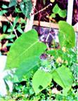Japan-Staudenknöterich(Fallopia japonica(L.))