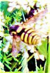 Gemeine Wespenschwebfliege(Chrysotoxum cautum(Harris 1776))