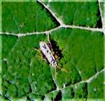 Blattwespe(Rhogogaster chlorosoma(Benson 1943))