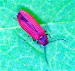 Scharlachroter Netzkäfer(Dictyoptera aurora(Herbst 1874))