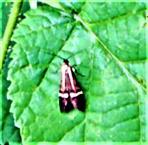 Weibliche Gebänderte Langhornmotte(Nemophora degeerella(L. 1758))