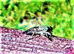 Gemeine Viehbremse(Tabanus bromus(Scopoli 1763))