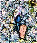 Gewöhnliche Schwarzspinne(Zelotes(Gistel) subterraneus)