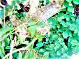 Blüten der Etrusker Heckenkirsche(Lonicera etrusca(G. Santi))