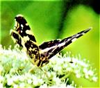 Landkärtchen(Araschnia levana f. prorsa(L. 1758))(Sommergeneration)