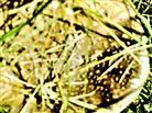 Schirm eines Pantherpilzes(Amanita pantherina(DC. :Fr.) Krombh.)