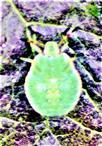 Nymphe der Grünen Stinkwanze(Palomena prasina(L. 1761))