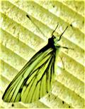 Männlicher Rapsweißling(Pieris napi(L. 1758))