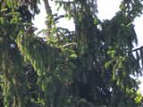 Junger Seeadler in seinem Nest