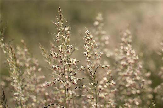 Wiese mit Glatthafer ((Arrhenaterum elatius)