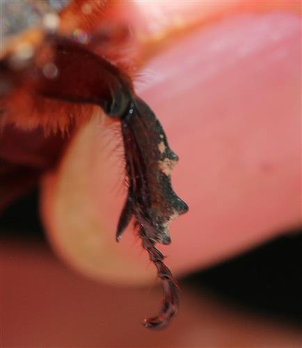 Schaufelbein des Nashornkäfers (Oryctes nasicornis)