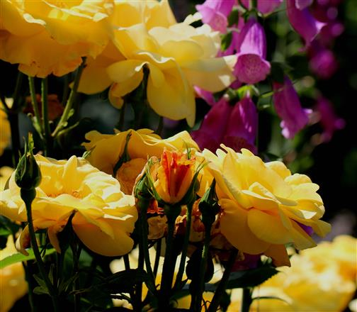 Rosen und Fingerhut