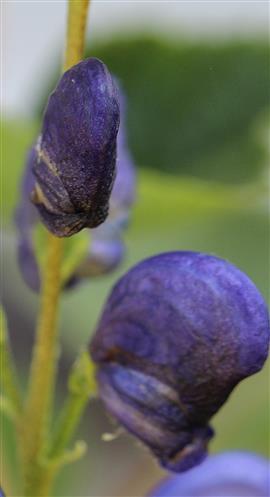 Eisenhut (Aconitum) geschlossen