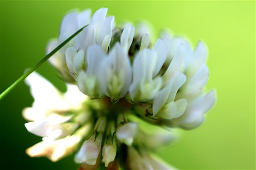 Weißkleeblüte