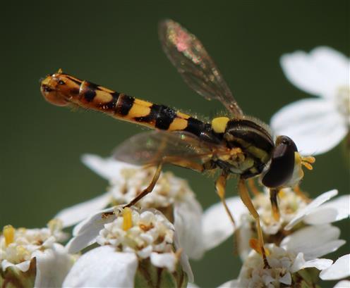 Gemeine Langbauchschwebfliege (Sphaerophania scripta)