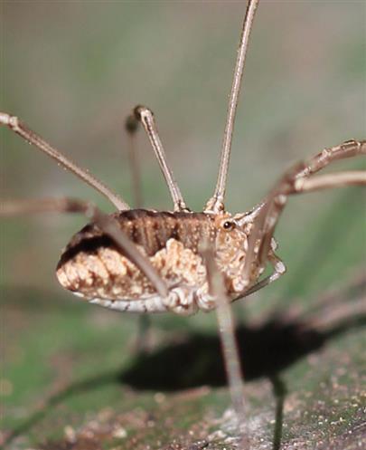 Weberknecht (Mitopus morio)