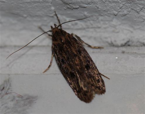 Hoffentlich nicht aus unserer Speisekammer - Hoffmannophila pseudospretella