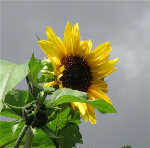 Trotzdem: Sonnenblume!