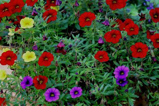 Die Farben der Petunien