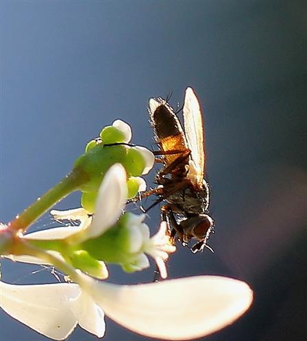 Raupenfliege (Eriothrix rufomaculata) im Gegenlicht
