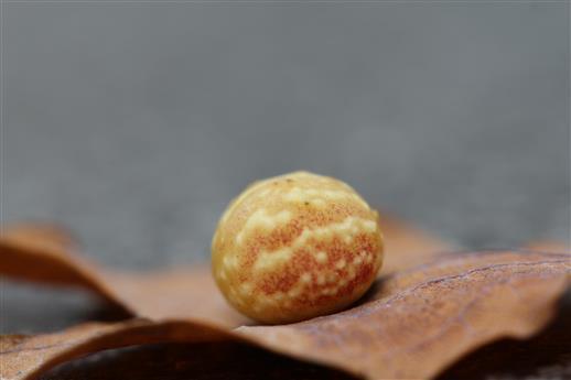 Galle von Cynips longiventris auf Eichenblatt