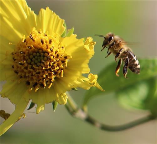 Biene landet auf beschädigter Helianthusblüte