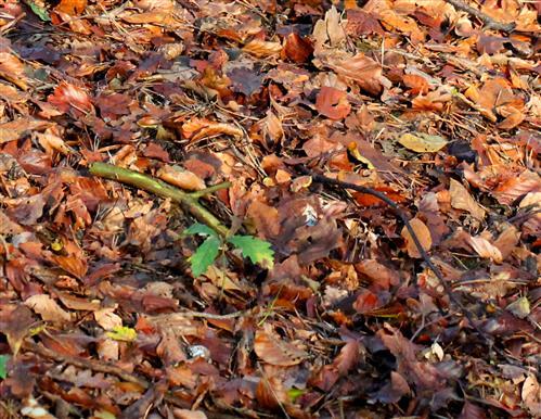 Herbstlicher Waldboden mit Eichenschößling