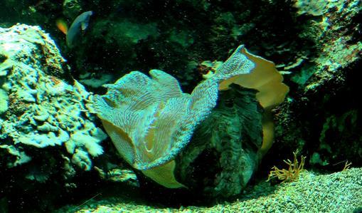 Riesenmuschel (Tridanca spes.), jung, filtriert