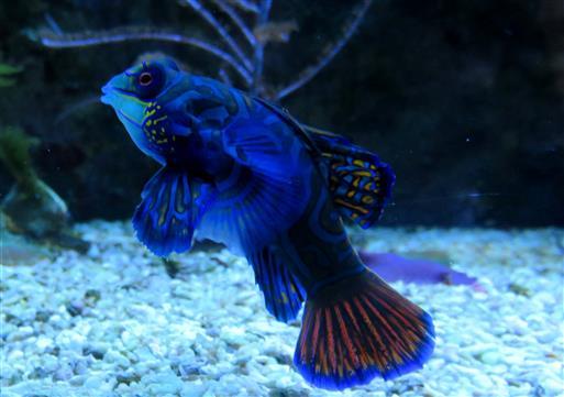 Mandarinfisch (Synchiropus splendidus) - Traum in Blau