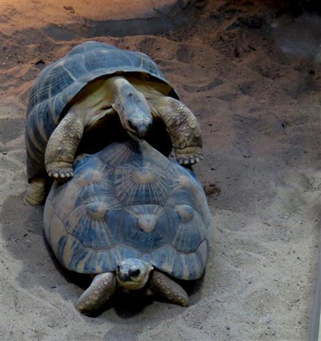 Strahlenschildkröten (Astrochelys radiata) vertreiben den Novemberblues