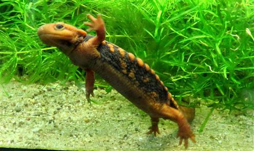 Krokodilmolch (Tylototritus shanijing)