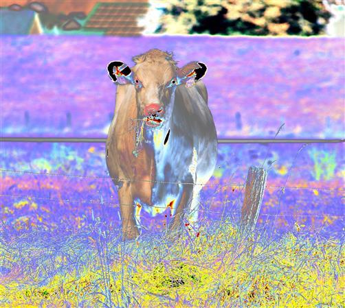 Gespenstkuh in lila Landschaft