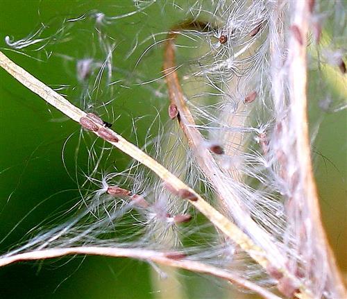 Samen des Weidenröschens