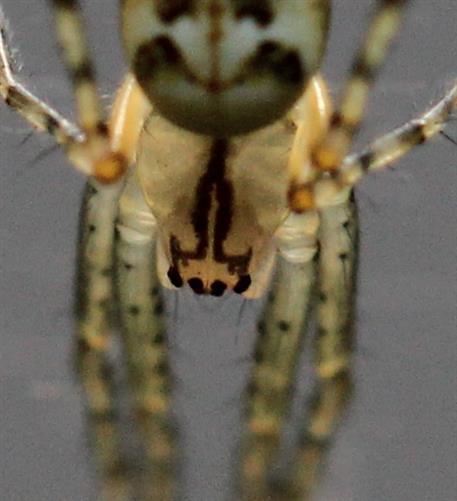 Cephalothorax der Herbstspinne Metellina segmentata