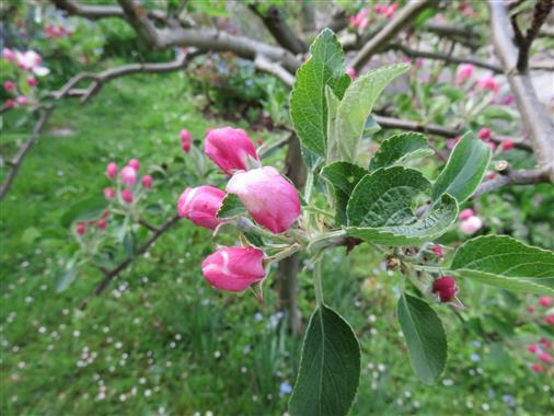 Apfelblütenknospen