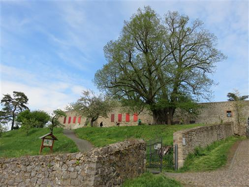 Mindestens 800 Jahre alte Winterlinde in Homberg/Ohm