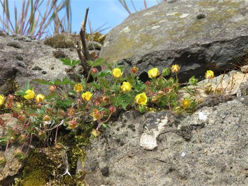 Ein Spalt im Stein genügt ihm: Berg-Hahnenfuß (Ranunculus montanus)