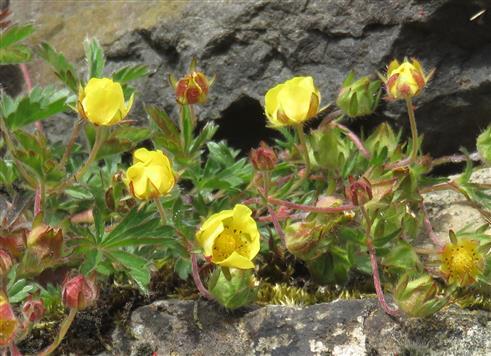 Berg-Hahnenfuß (Ranunculus montanus)
