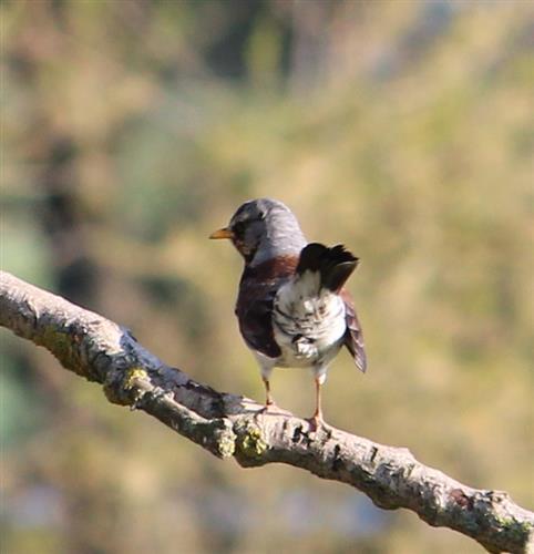 Wacholderdrossel (Turdus pilaris), Rückansicht