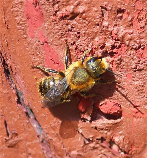 Mörtelbiene (Megachile versicolor?) sonnt sich und säubert Flügel