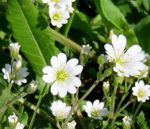 Acker - Hornkraut (Cerastium arvense)