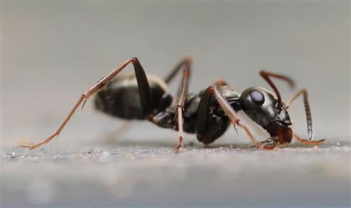 Ameise (Lasius niger) leckt etwas auf