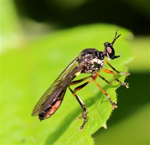 Raubfliege (Dioctria rufipes)