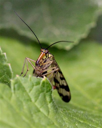 Weibliche Skorpionsfliege (Panorpa germanica)