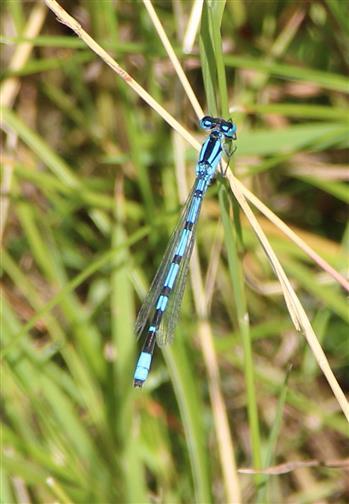 Becher-Azurjungfer (Enallagma cyathigerum)