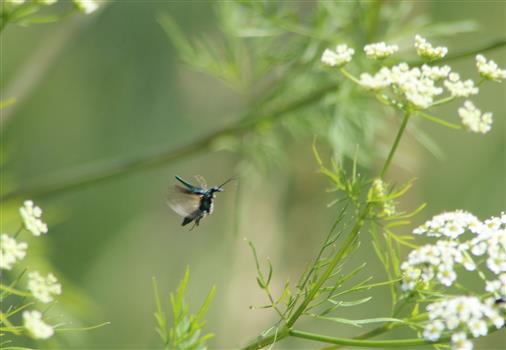 Scheinbockkäfer (Oedemera nobilis) fliegt