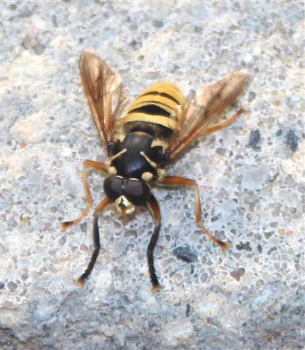 Seltener Gast: Wespen-Moderholz-Schwebfliege (Temnostoma vespiforme)