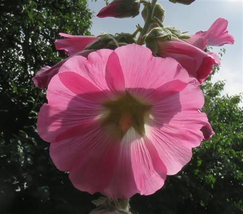 Stockrose fliederfarben