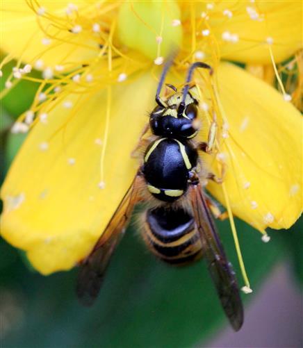 Deutsche Wespe (Vespula germanica) auf Johanniskraut
